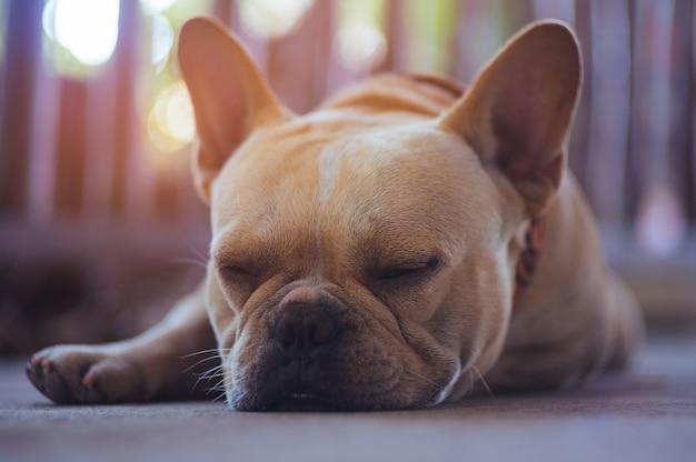 Brown bulldog sleeping near the wall