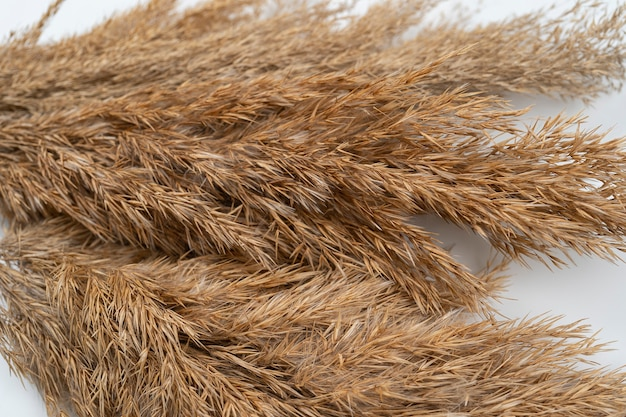 Brown bundles of reed close up reeds branches bouquet on white background top view floral design