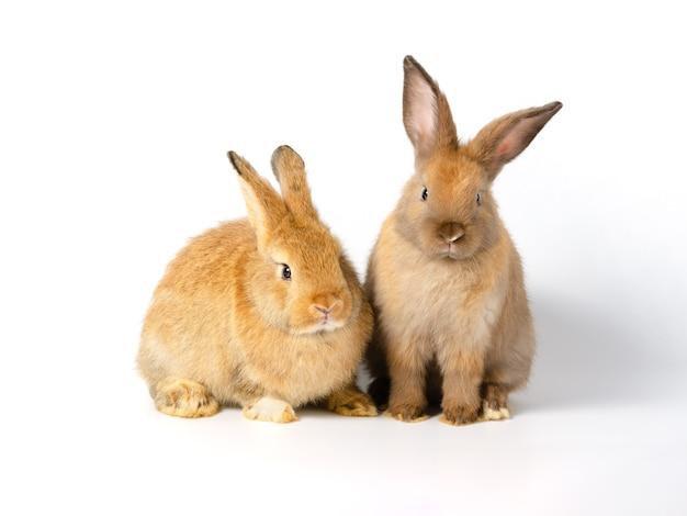 白地に茶色のウサギ。