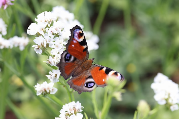 Brown butterfly sitting on white statice flower in garden closeup background botany pollination