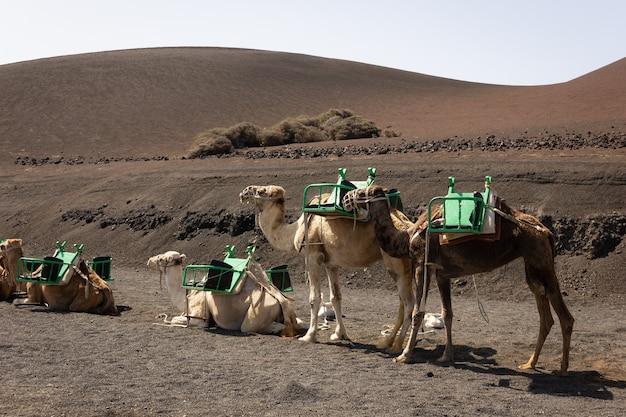 砂漠地帯で休んで立っている茶色のラクダ