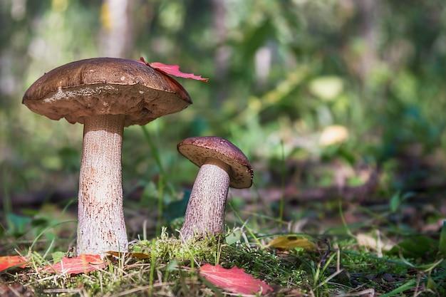 Brown cap boletus in the woods