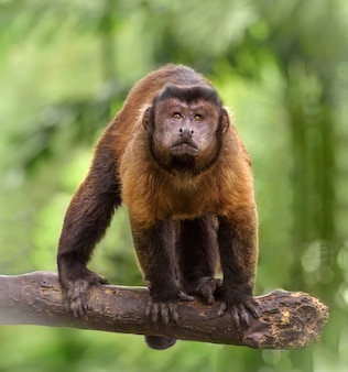 Brown capuchin monkey stands on tree branch looking up