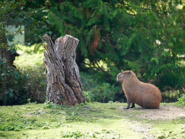 Коричневая капибара сидит у ствола дерева в зоопарке