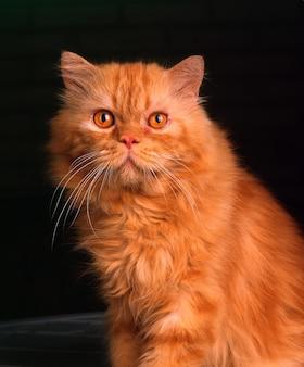 Коричневое лицо кошки с желтыми глазами крупным планом на черном фоне