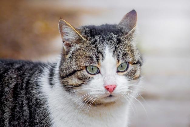 散歩に白い顔の茶色の猫