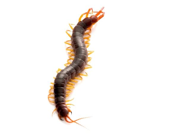 Brown centipede on white background
