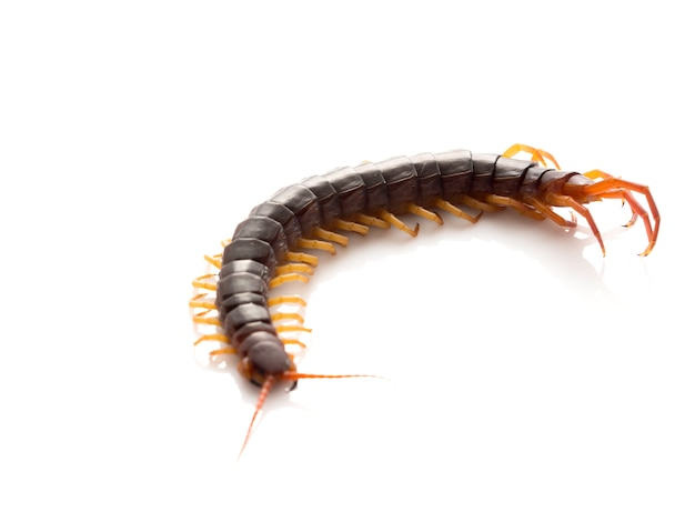 Brown centipede on white background