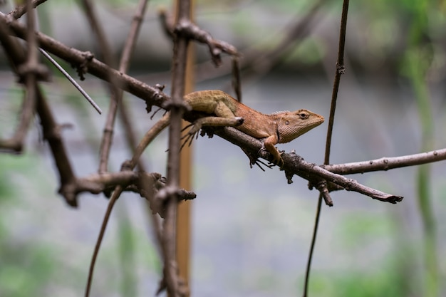 Brown chameleon on the branches
