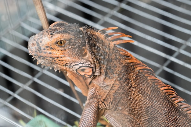 Brown chameleon in the cage