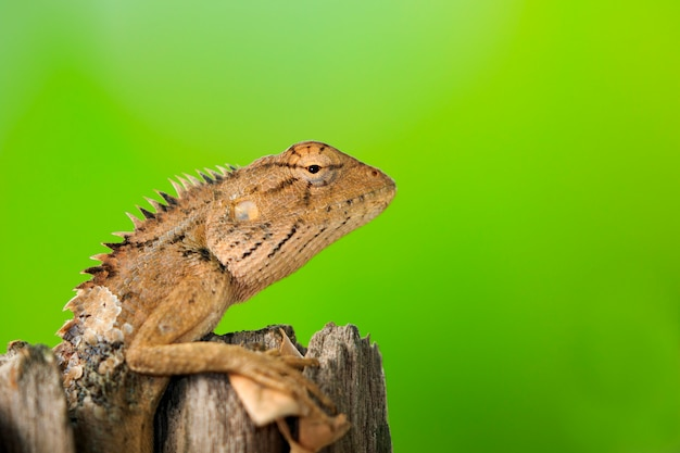 Brown chameleon on the stumps . reptile. animal.