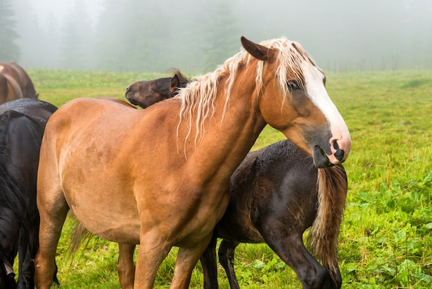 カメラを見ている白いたてがみと茶色の栗の馬