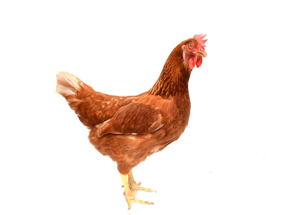 Brown chicken, hen standing i