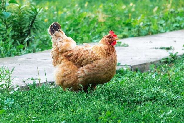 Коричневый цыпленок в саду фермы. выращивание птицы
