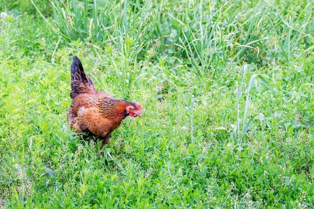 브라운 치킨은 울창한 풀 사이 농장의 정원에서 음식을 찾고 있습니다. 공간 복사