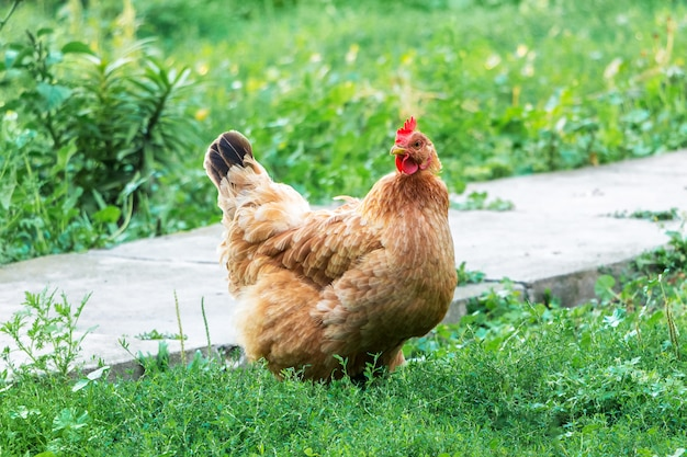 緑の芝生の農場で茶色の鶏