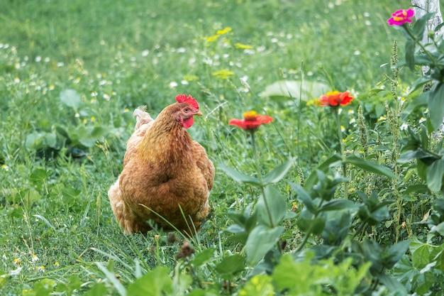 赤い花に囲まれた庭の農場の茶色の鶏_