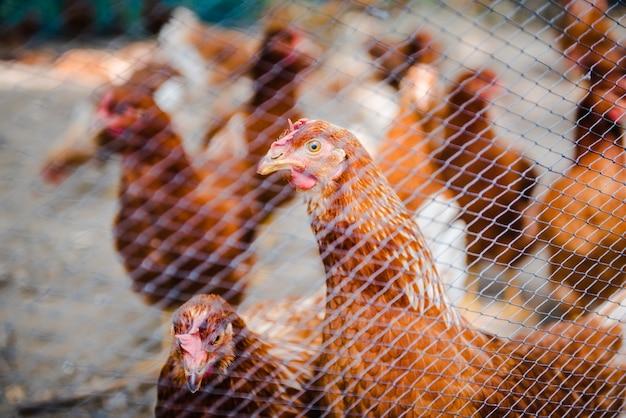 地元の農場の庭にあるブラウンチキンまたは鶏