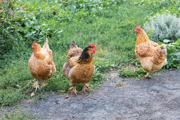 Коричневые цыплята в саду фермы