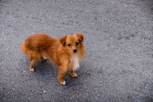 Brown chihuahua dog on the street.
