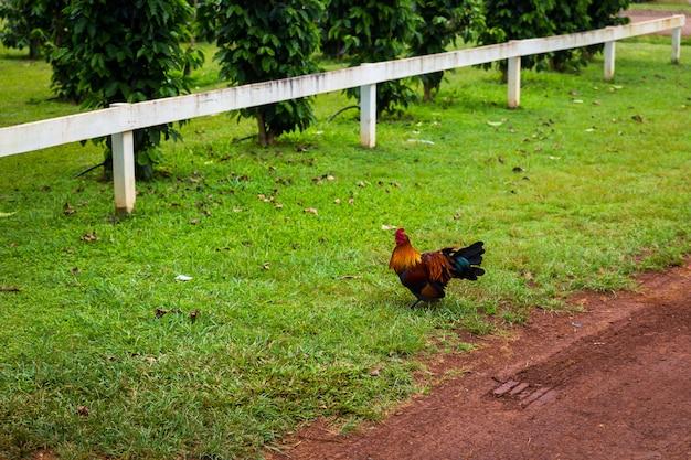 Brown cock walking on lawn of coffee farm on oahu island, hawaii