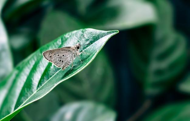 Коричневая бабочка, покоящаяся на листе джекфрута крупным планом