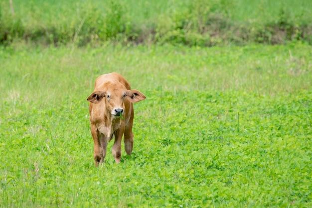 Brown cow. animal farm.