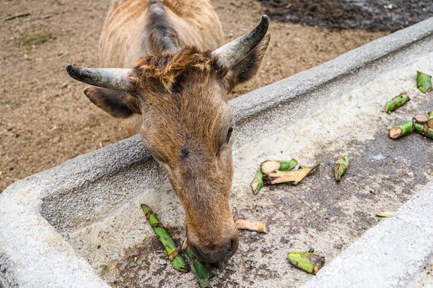 茶色の牛、緑のバナナを食べる農場の雄牛。カナリア諸島、テネリフェ島