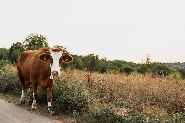 田舎道を行く茶色の牛