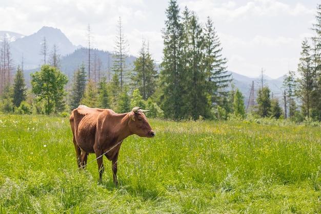 山の近くの緑の牧草地で放牧している茶色の牛