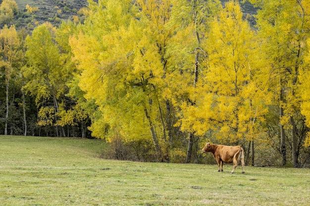 아름다운 가을 나무 근처 목초지에 방목하는 갈색 암소