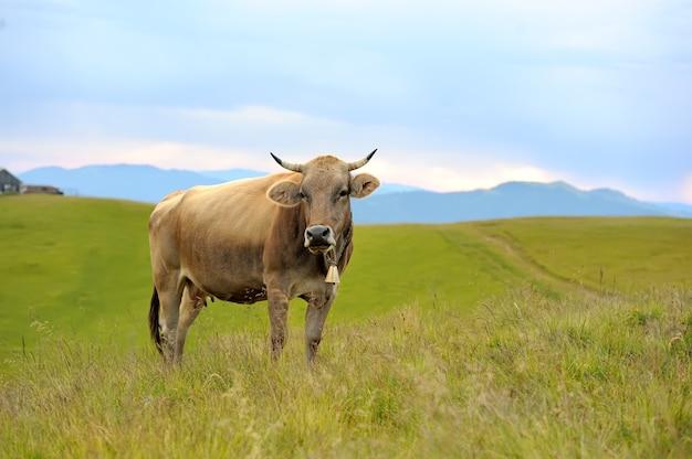 Коричневая корова на горном пастбище. летний день
