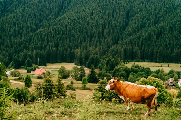 Brown cow pasturing in the summer mountains