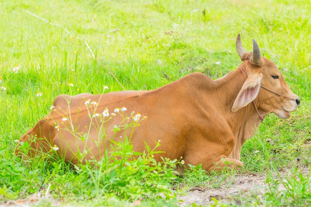 Brown cow rest in the green grass field, thai asian animal countryside.