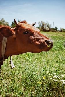 Коричневая корова нюхает желтый цветок на фоне зеленой травы