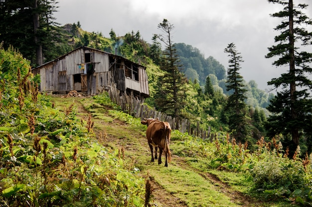 Brown cow walking up the hill to the little wooden house