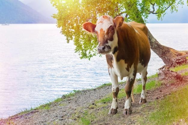 茶色の牛が湖の岸に沿って歩きます。