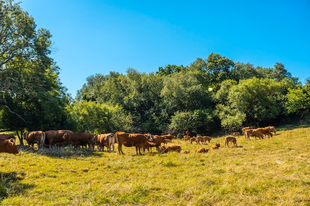 Brown cows on the coast of monte igueldo, guipuzcoa