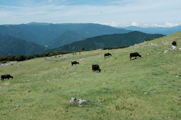 Brown cows grazing in the grass field on a hill surrounded by mountains under a blue sky