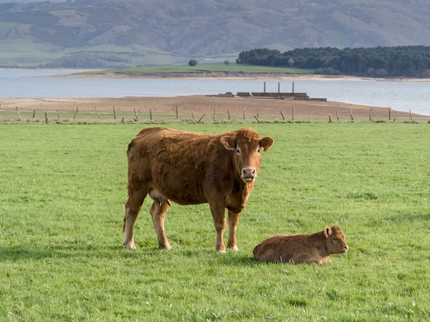 Brown cows on green meadow grass landscapes in cantabria, spain
