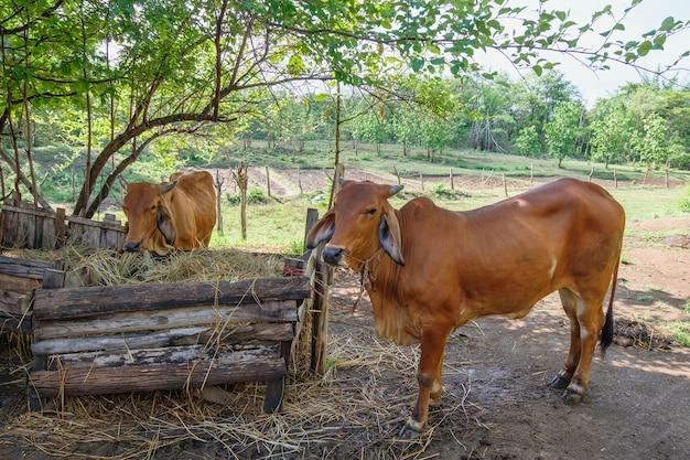 Коричневые коровы на сельской ферме
