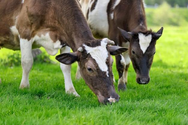 Коричневые коровы на летнем пастбище