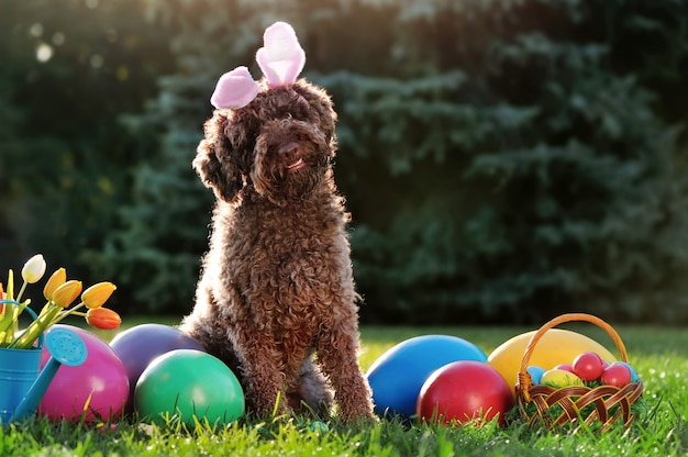 Brown curling dog wearing easter rabbit ears