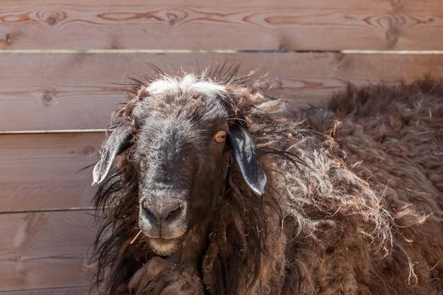 Коричневая кудрявая овца у забора