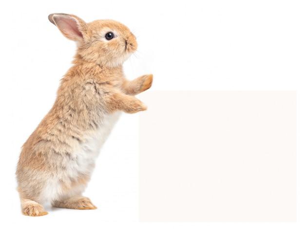 Коричневый милый маленький кролик стоит и трогает рекламный щит на белом