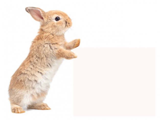 Brown cute baby rabbit standing and touches a billboard on white
