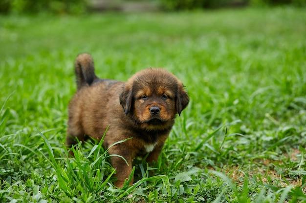 갈색 귀여운 행복한 강아지 뉴펀들랜드, 야외 푸른 잔디에 있는 여름 공원에 있는 사랑스러운 미소 개.