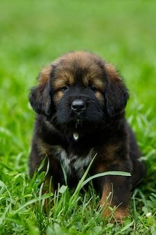 갈색 귀여운 행복한 강아지 뉴펀들랜드, 사랑스러운 미소 개