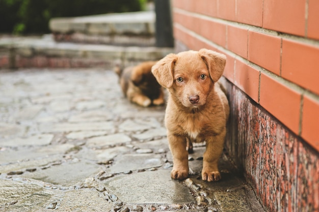 Brown cute puppy dog sits steps house
