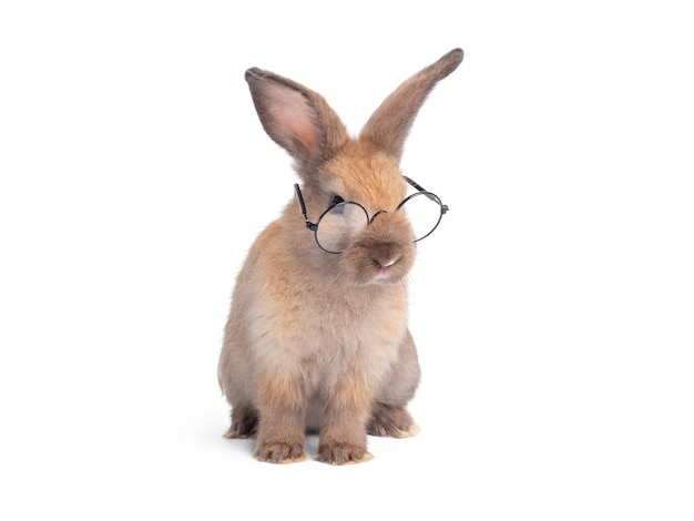 Brown cute rabbit wearing eyeglasses isolated on white wall.